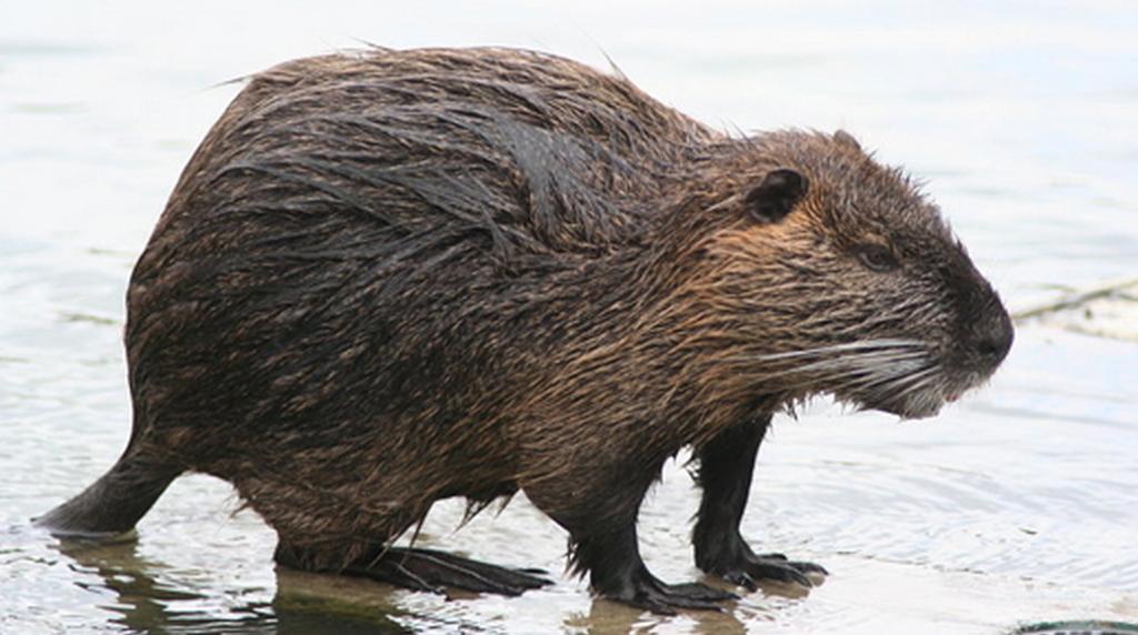 nutria-rat-swamp-people