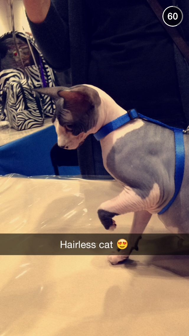hairless-cat-london-pet-show